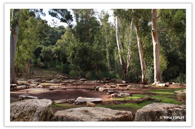 עצי אקליפטוס
