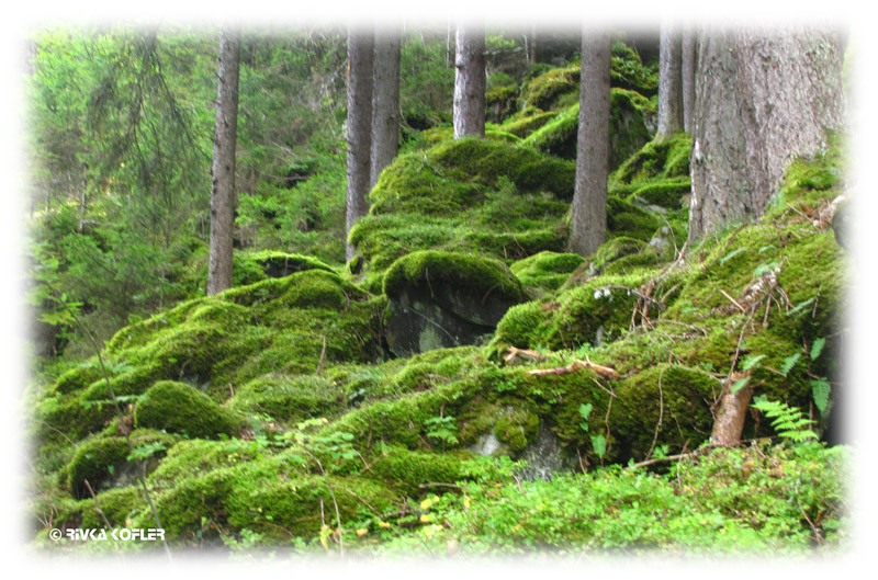 יער פיבורג