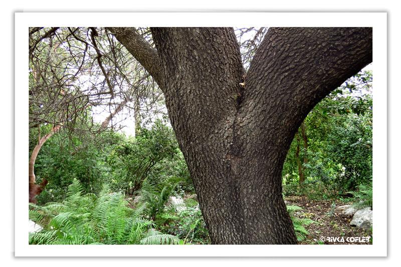 עץ עתיק ושרכים
