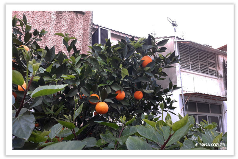 עץ תפוזים בחצר