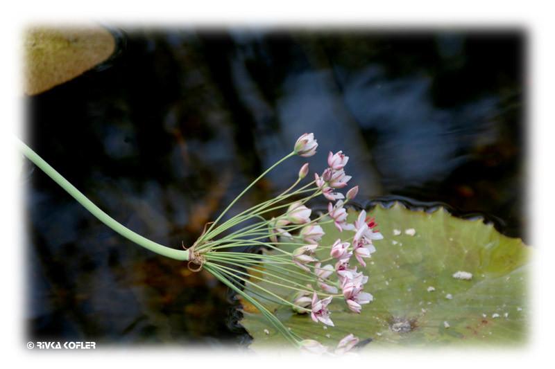 פרחים בבריכה אקולוגית