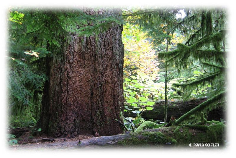 גזע עץ עבה מאוד