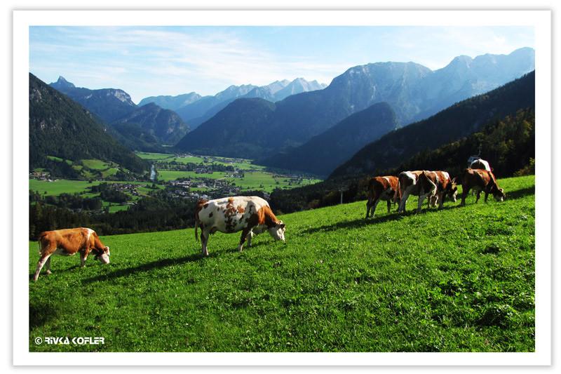פרות לוחכות עשב
