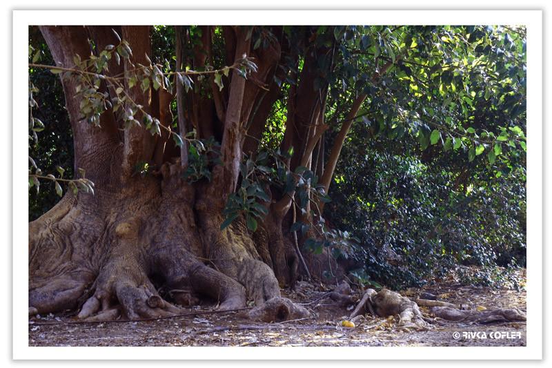גזע עץ עתיק