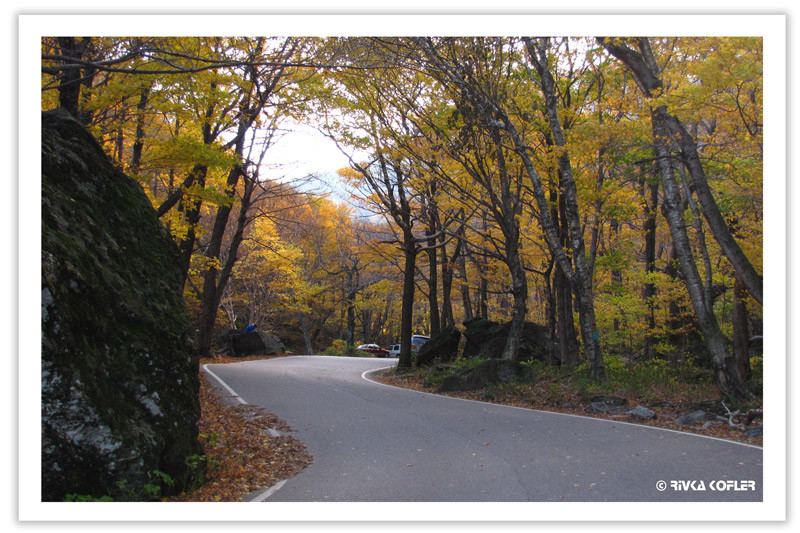 כביש וחופת עצים בצבע זהב