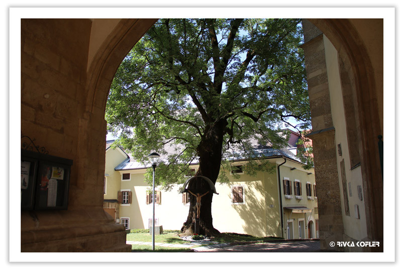עץ בצר הכנסייה