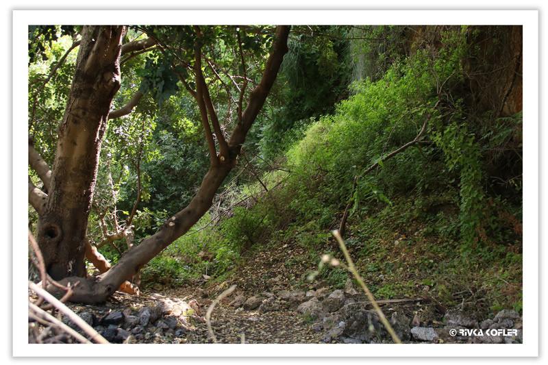 עץ בנחל
