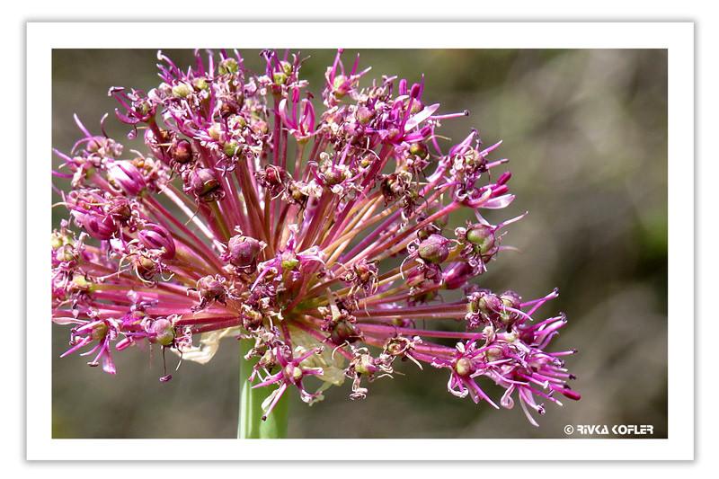 כתר של פרחים