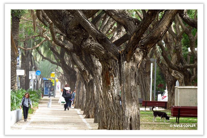 עצים עבותי גזע, תל אביב