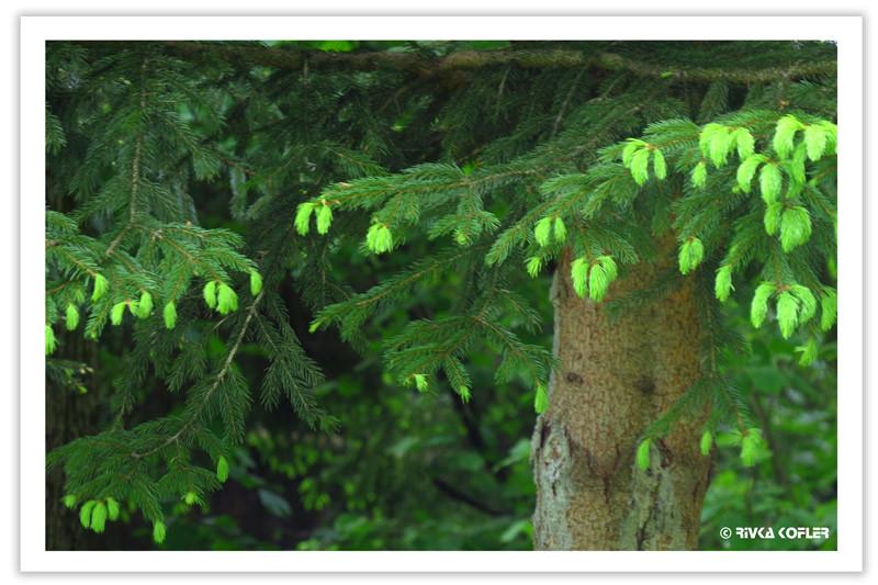 עצים מחטניים ירוקים