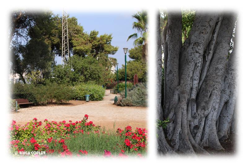 עצים עתיקים מול הגינה שנותרה בגן הקופים