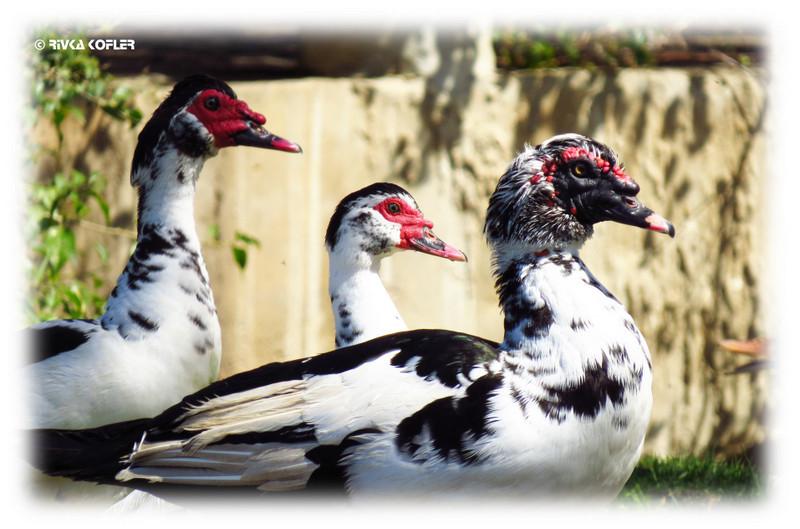 מיני עופות מים