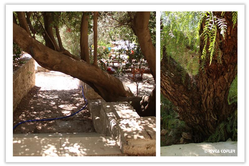 עצי נוי ופרי