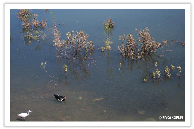 עופות מים