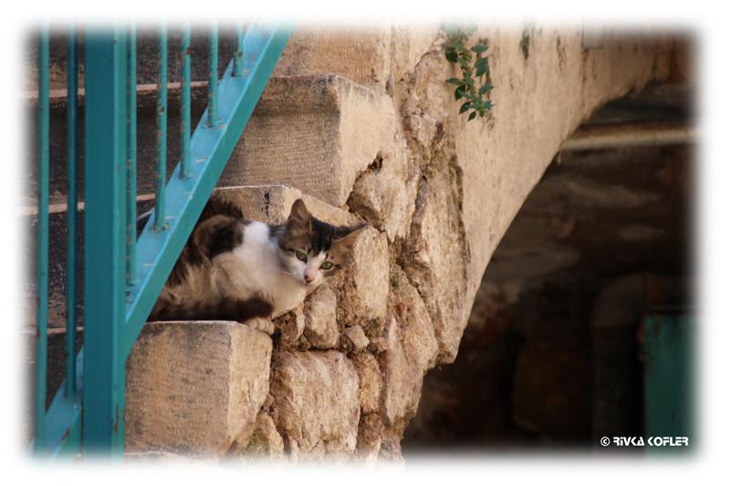 חתול מציץ