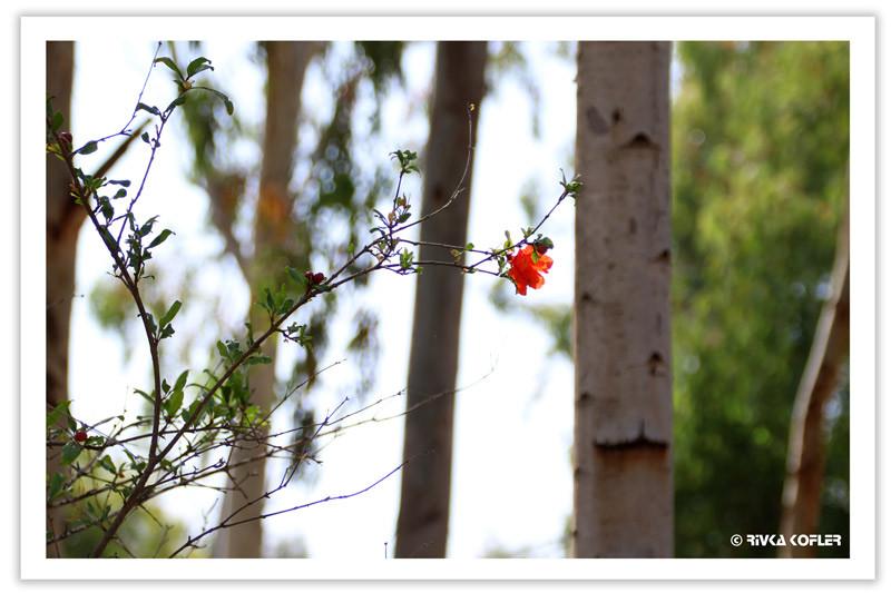 פרח הרימון