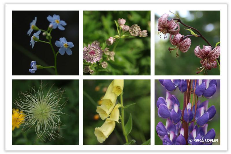 פרחים אלפינים