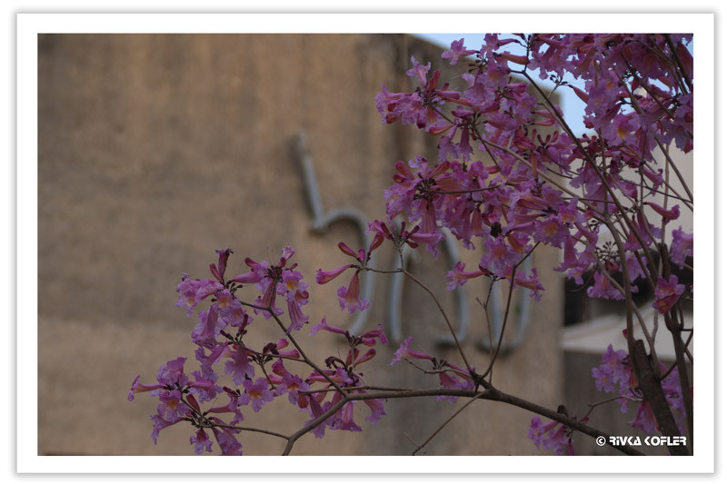 עמל בפריחה אביבית