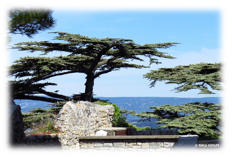 ארז הלבנון, בוניו, צרפת