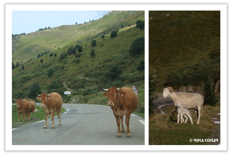 עדרי פרות וכבשים