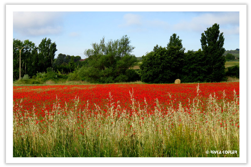 שדה אדום
