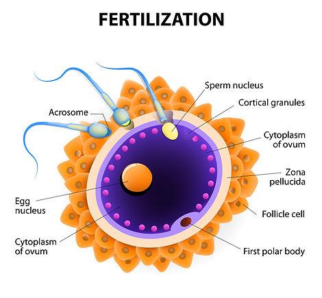 Fertilização Humana