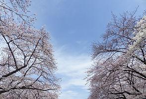 sakura-720728_960_720.jpg
