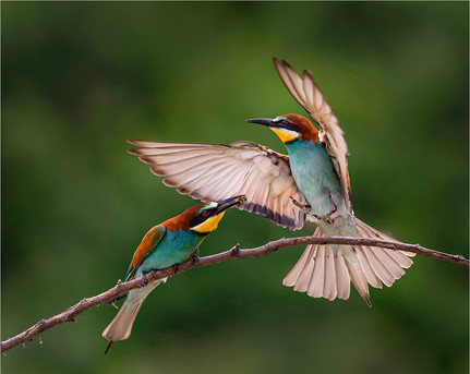 Female Bee Eater Arriving For Food