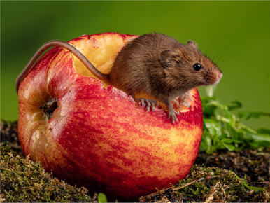 Mouse Eating Apple