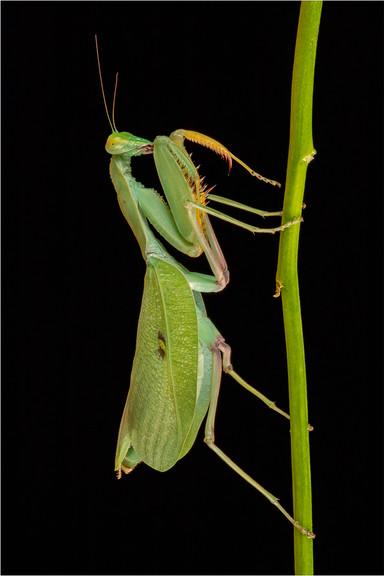 Climbing Mantis