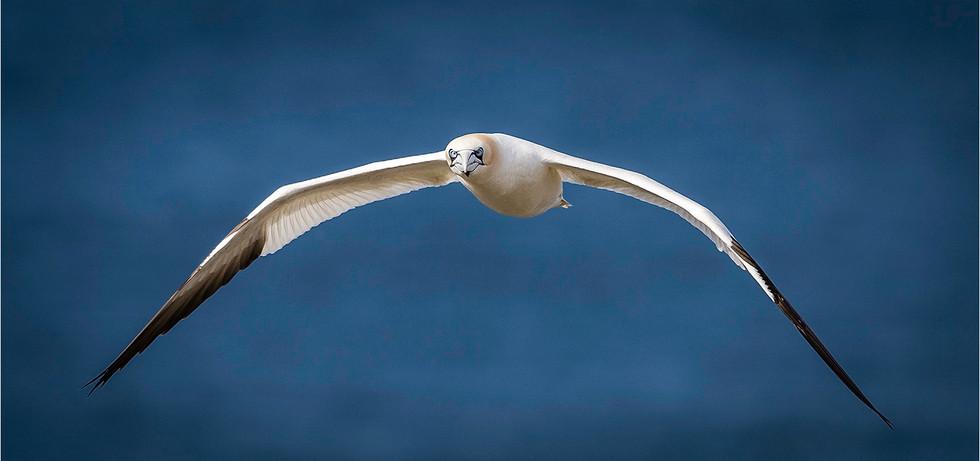 European Gannet