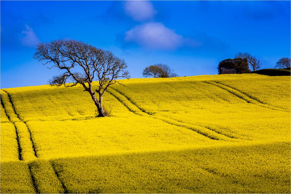 Yellow Sea Of Seed