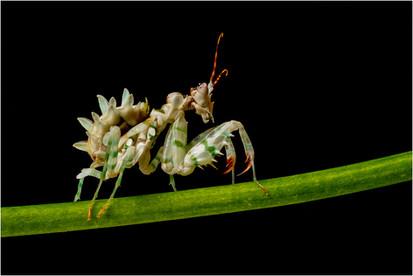 Ghost Preying Mantis