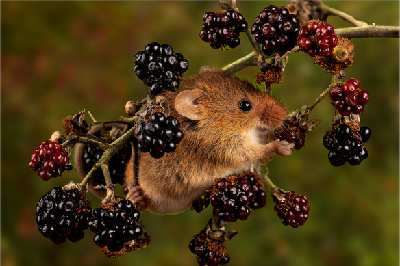 Mouse In The Berries