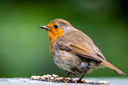 Robin On Feed