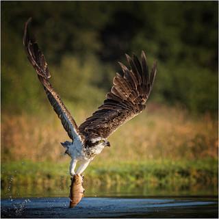 Osprey Homeward Bound