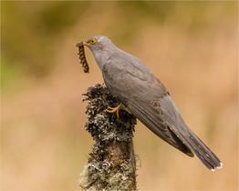 Cuckoo With Caterpillar