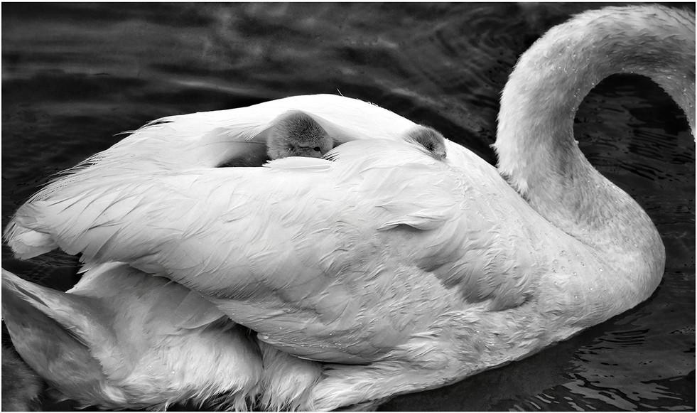 Ride A White Swan