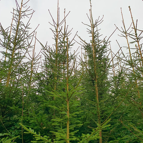 Norway Spruce (10-14ft)