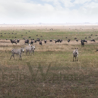 Serengeti - Cheetah