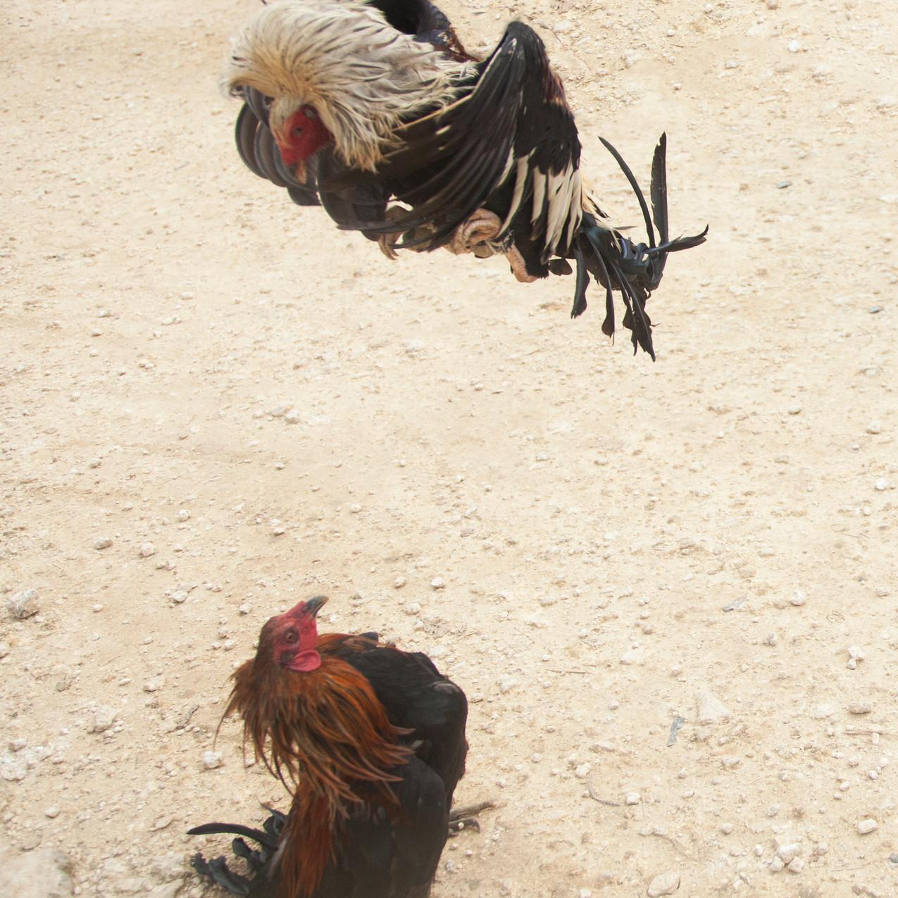 cockfight 4
