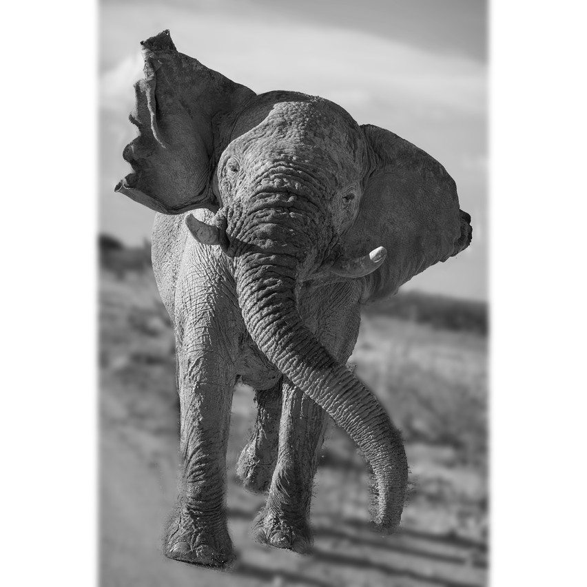 charhingelephant1blurred