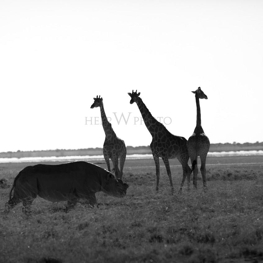 zebraandrheino