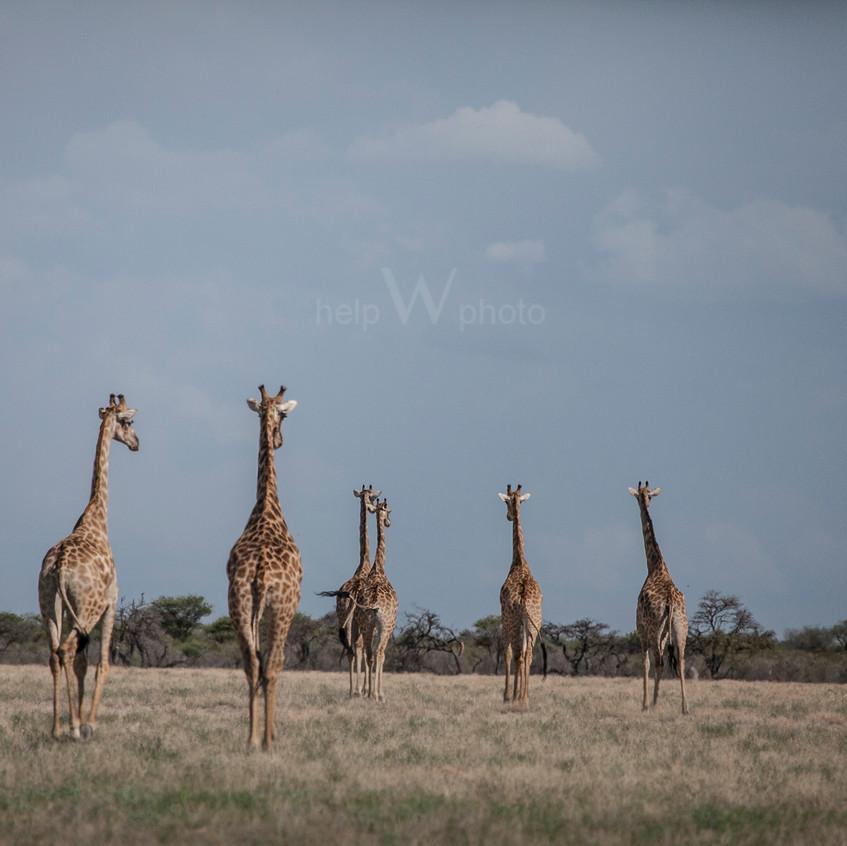 zürafa1