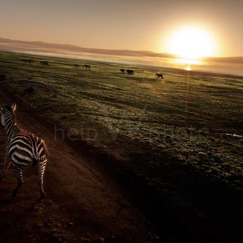 Serengeti - Zebra