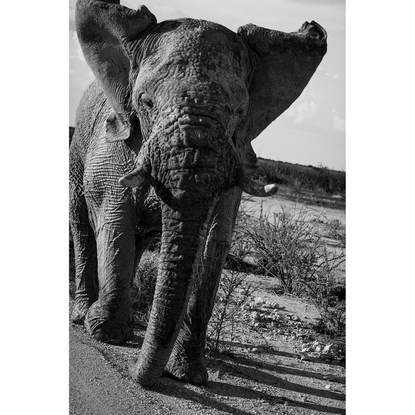 chargingelephant3
