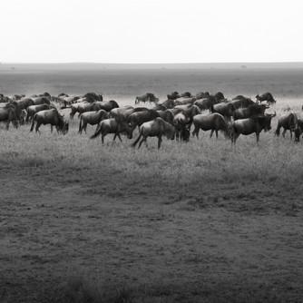 Serengeti - The Great Migration