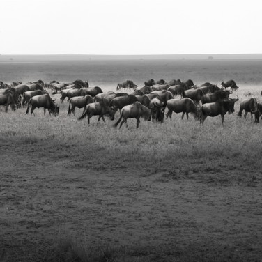 Serengeti - The Great Migration