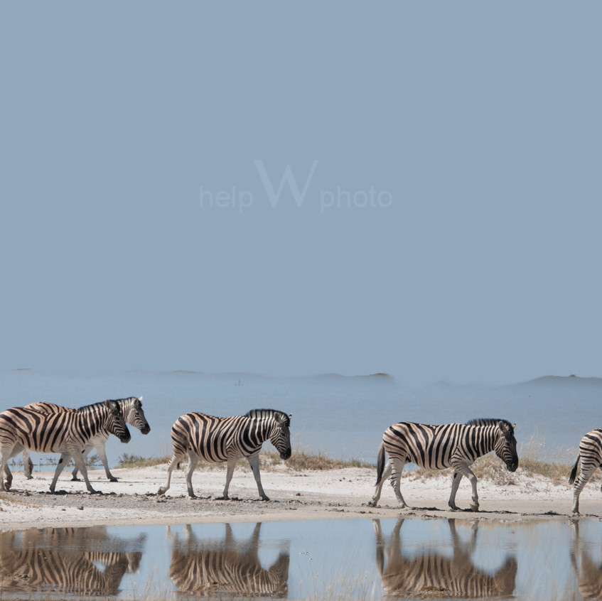 zebrasandwaterwebpage