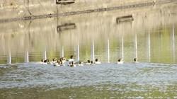 Common Merganseers